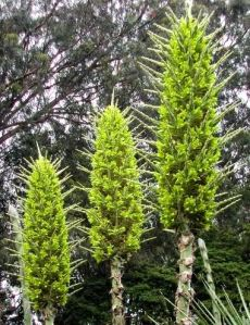 Puya Chilensis (courtesy strangewonderfulthings.com)